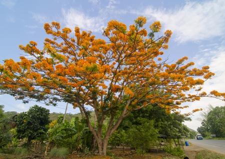 Peacock flowers on tree photo