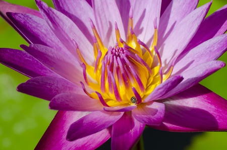 Beautiful pink lotus flower blooming. And fresh green leaves in water. photo