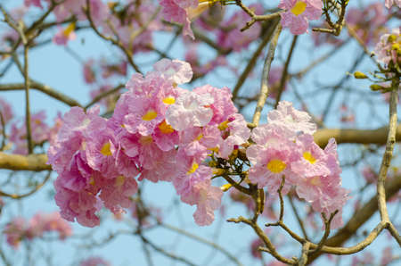 Beautiful pink flowers and Blue sky, Thailand photo