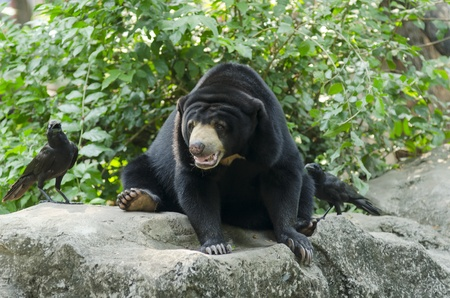 Black bear in the  open in Thailand photo