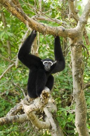 biped: White Cheeked Gibbon or Lar Gibbon