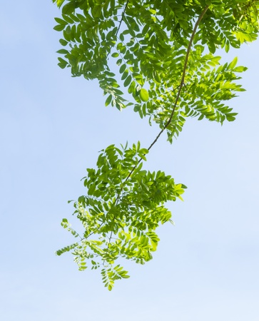 greenleaf with blue sky photo