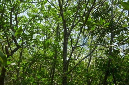boardwalk trail: Photo of green fertile mangrove forests of Thailand.