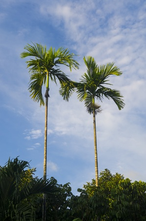 many palm trees against a blue sky photo