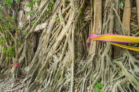 Root of the tree absorbing the ruins Wat Bang Kung Within the temple,Temple in Thailand Stock Photo - 23313702