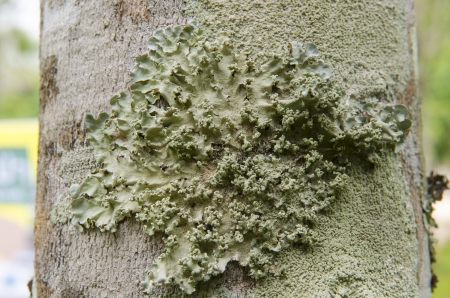 close look of lichens on tree bark