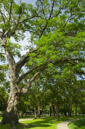 Big green tree in Botanical garden