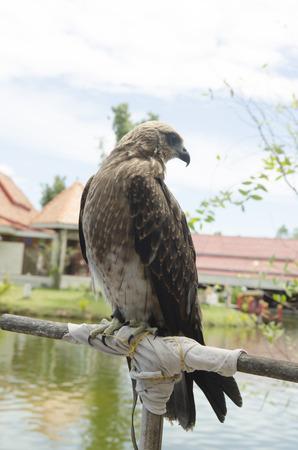 merlin falcon: Falco, single female on post