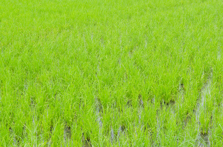 beautifful rice fields photo