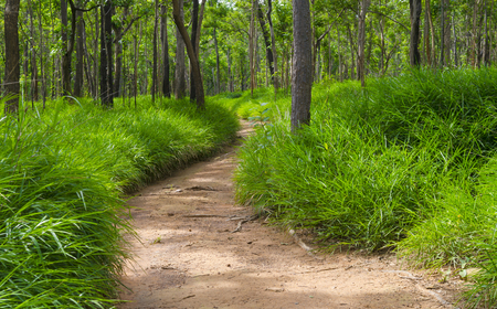 road and path through: Dry Dipterocarp Forest, Thailand natural field