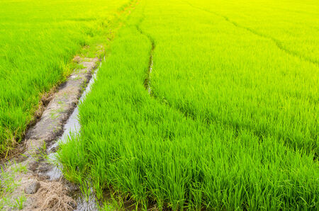 Green rice field and sunset, paddy field photo