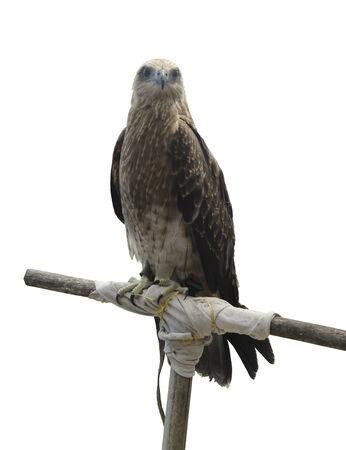 merlin falcon: Falco, single female on post, isolated on white Stock Photo