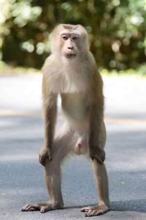 pig-tailed macaques, Monkey in Khao Yai National Park, Thailand photo
