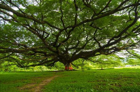 The Largest Monkey Pod Tree in Thailand and its branch. Stock Photo