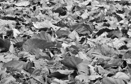 sear and yellow leaf: dry leaf on ground in black and white