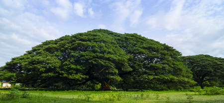 old big tree under blue sky at Kanchanaburi, Thailand photo