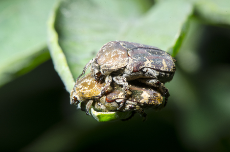 mating colors: beetle are mating Stock Photo
