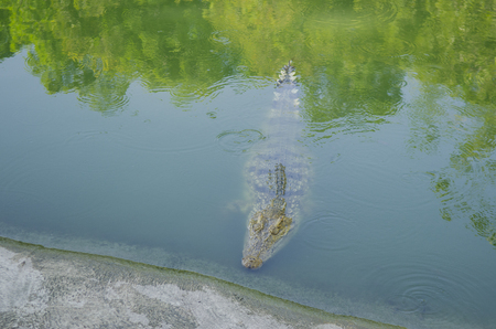 gaping: Portrait of big crocodile at the farm