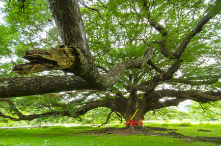 The Large green tree photo