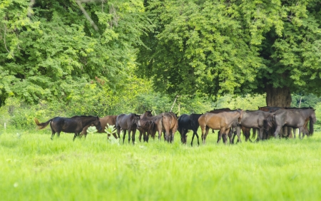 horses on green meadow in spring photo