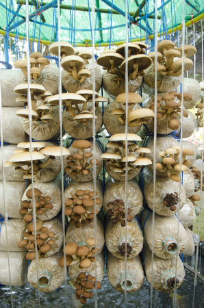 Mushroom cultivation farms. Stock Photo