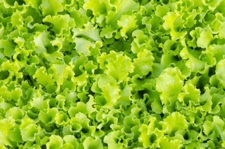 Fresh green lettuce close-up after the rain. photo