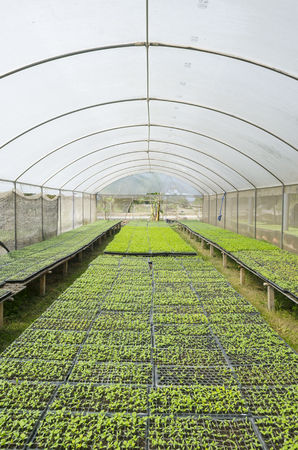 Lettuce growing in lines in plastic green house photo