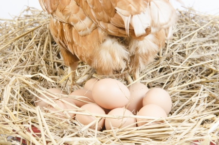 hatched: Chicken and their eggs on a white background