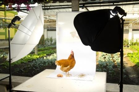 Chicken in Photo studio setup with lighting equipment