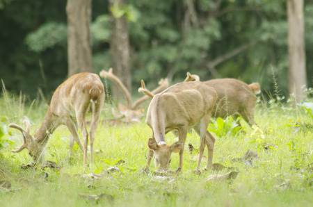 siamensis: Elds Deer in the field of natural site at Huai Kha Khaeng Wildlife Sanctuary, Thailand Stock Photo