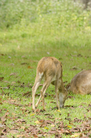 Elds Deer in the field of natural site at Huai Kha Khaeng Wildlife Sanctuary, Thailand photo