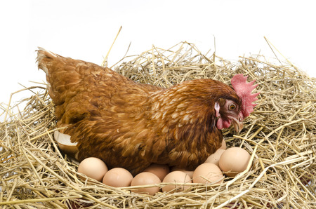 Isolated brown hen with egg in the studio Stock Photo
