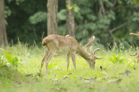 Eld's Deer in the field of natural site at Huai Kha Khaeng Wildlife Sanctuary, Thailand Stock Photo - 25548770