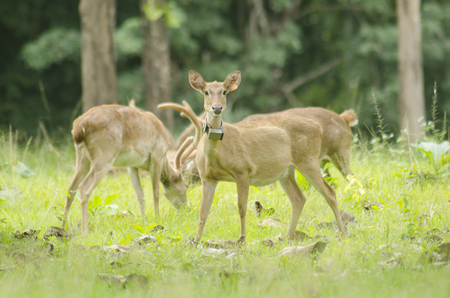 Eld's Deer in the field of natural site at Huai Kha Khaeng Wildlife Sanctuary, Thailand Stock Photo - 25548771