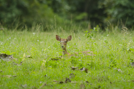 Elds Deer in the field of natural site at Huai Kha Khaeng Wildlife Sanctuary, Thailand photo