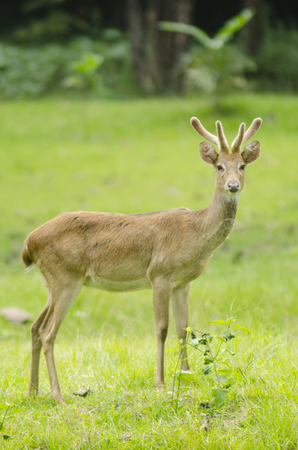 Eld's Deer in the field of natural site at Huai Kha Khaeng Wildlife Sanctuary, Thailand Stock Photo - 25548778