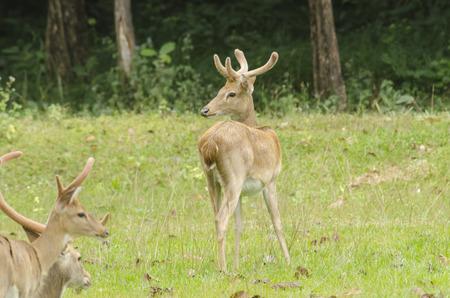 Eld's Deer in the field of natural site at Huai Kha Khaeng Wildlife Sanctuary, Thailand Stock Photo - 25548075