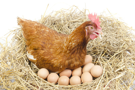 egg white: Isolated brown hen with egg in the studio Stock Photo