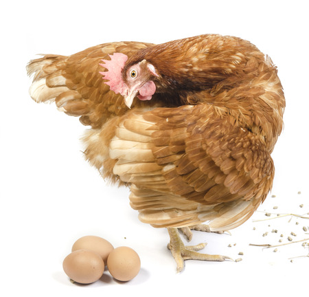 Isolated brown hen with egg in the studio Stok Fotoğraf