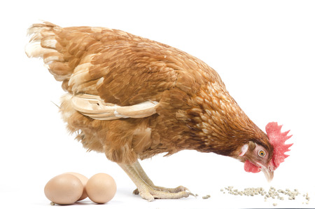 Chicken in nest with eggs isolated on white