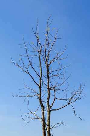 Dry tree and blue sky in summer. photo