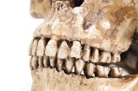 molars: modelo de los dientes humanos (cr�neo) sobre un fondo blanco