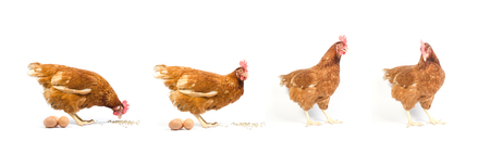Set of brown chicken isolated on white , studio shot