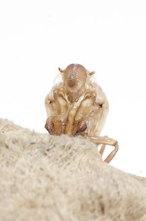 cicada slough isolated on white background photo