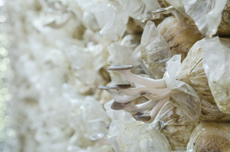 White and black Poplar Organic Mushroom ( Agrocybe cylindracea ) in Thai farm photo