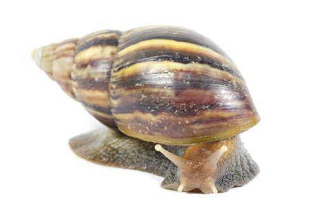 Giant African snails isolated on white with clipping path Stock Photo