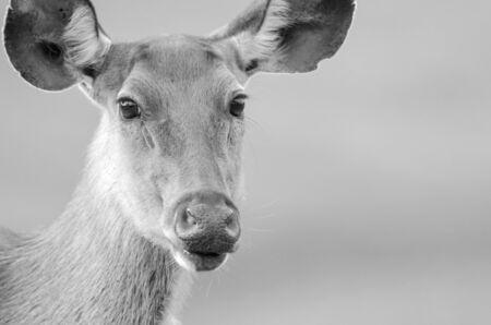 wild dear at natural site Khao Yai National Park, Thailand photo