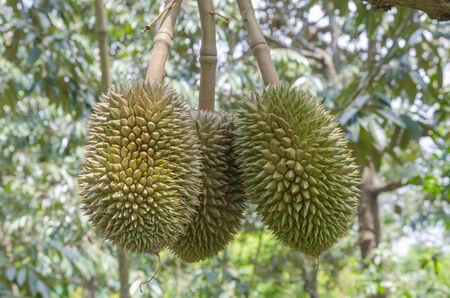 Thai fruit, Durian photo