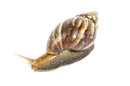 Garden snail isolated on white background. photo