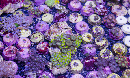 branching coral: This is a branching torch coral, Euphyllia glabrescens.